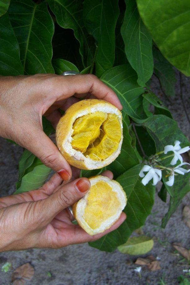 Bungu-Frucht, schmeckt quitschesauer, aber lecker