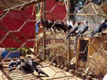 Krähen, die irgendwann einmal die Engländer eingeführt haben, sind fast die einzigen Tiere, die man an der Küste sieht