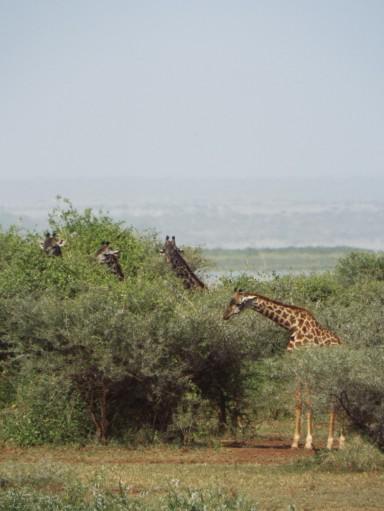 Suchbild - wie viele Giraffen sind zu sehen?