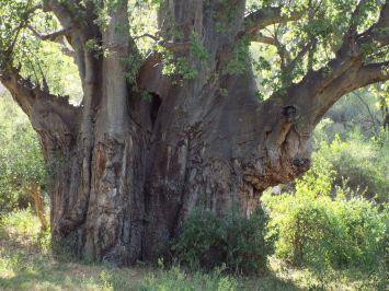 Fetter Baobab-Baum