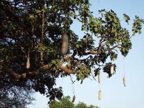 Der Sausage Tree (Wurstbaum)