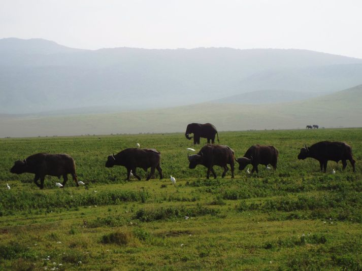 Büffelparade