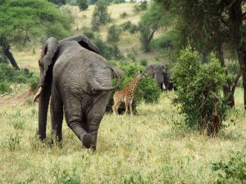 Elefant & Babygiraffe