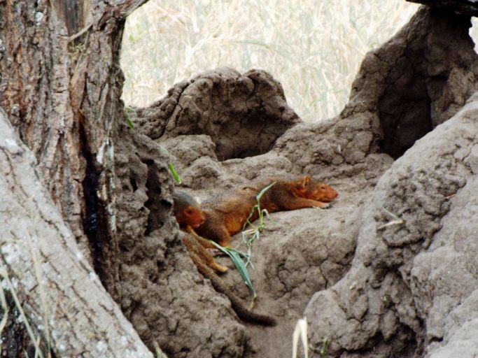 Mungo auf der Lauer nach Termiten