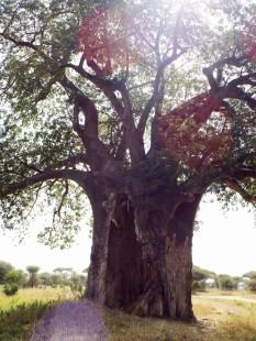 Ein von einem Elefanten in Mitleidenschaft gezogener Baobab-Baum