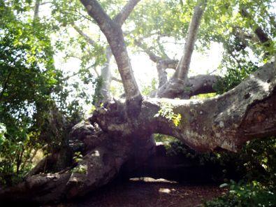Baobab-Riese