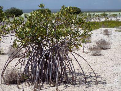 """Mangroven mit """"Gummiwurzeln"""""""