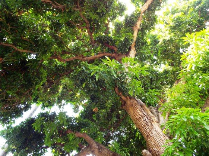 Mächtiger Mangobaum