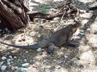 Leguane überall