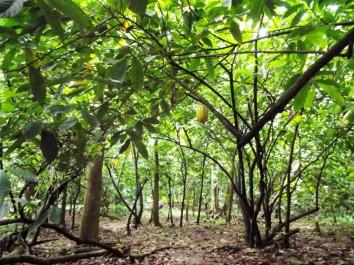 Kakaowald