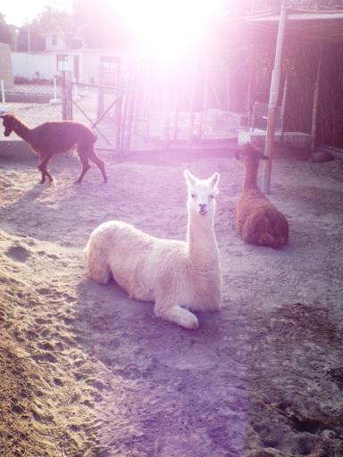 Auch die Lamas dürfen nicht fehlen!