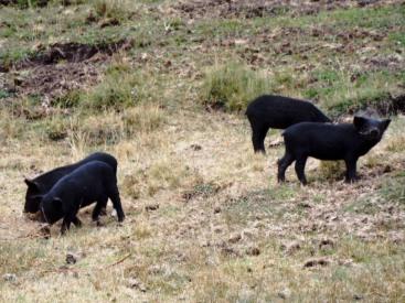 Schwarze Schweinchen