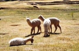 Mal wieder ein paar putzige Lamas