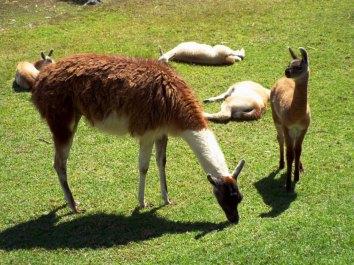 Lamas dürfen natürlich auch nicht fehlen!