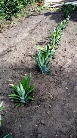 So wachsen Ananas!